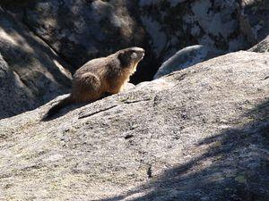 Faune marmotte